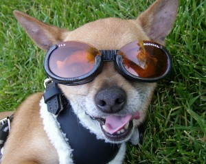 "A dog wearing sunglasses ""Doggles""."
